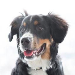 Bohne, Werkstatthund